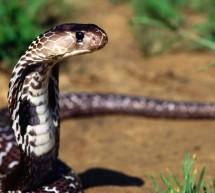 Islık çalmayı kesen yılan